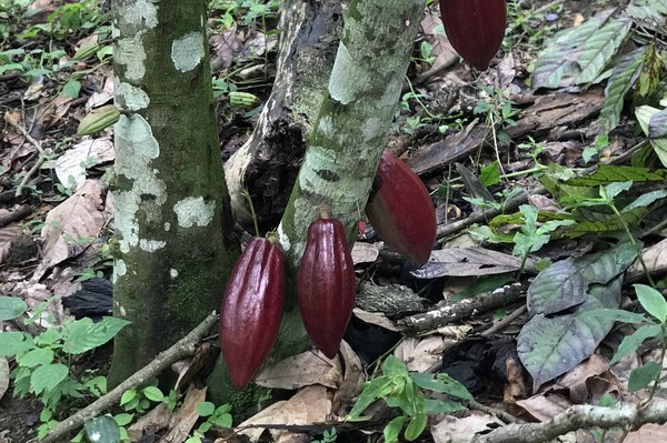 cabosse_cacao_rouge_web